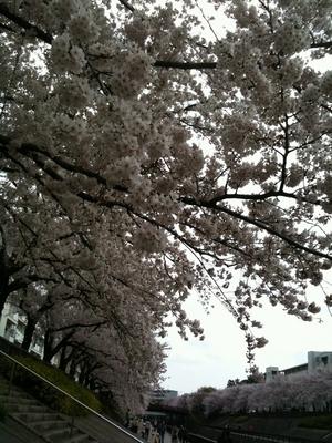 sakura_2011_004.jpg