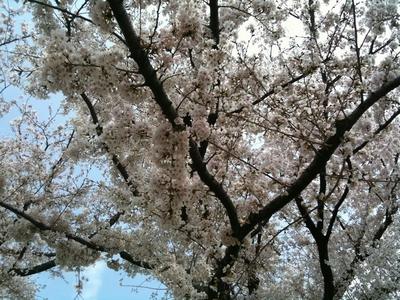 sakura_2011_005.jpg