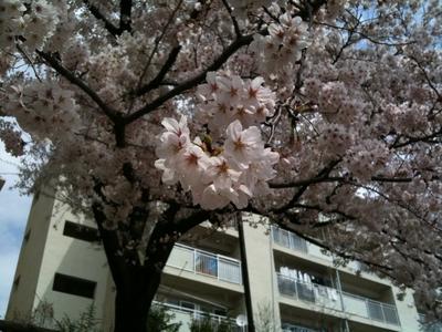 sakura_2011_006.jpg